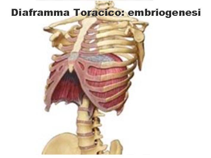 Diaframma Toracico embriologia 001 spine center